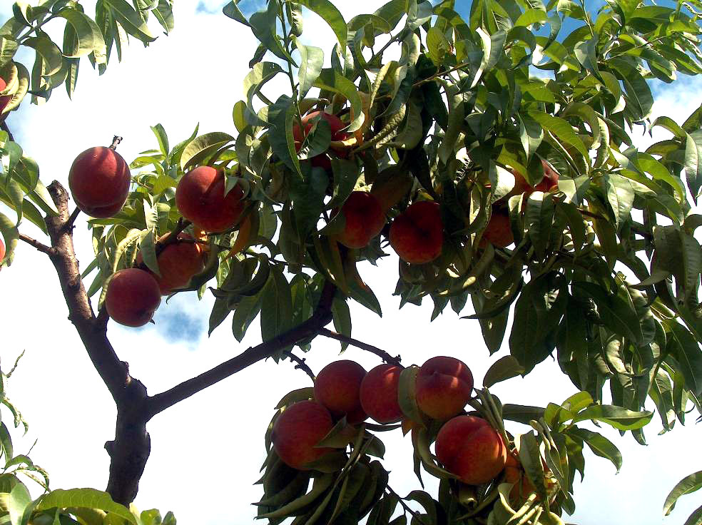 Karışık meyve ağaçları resimleri
